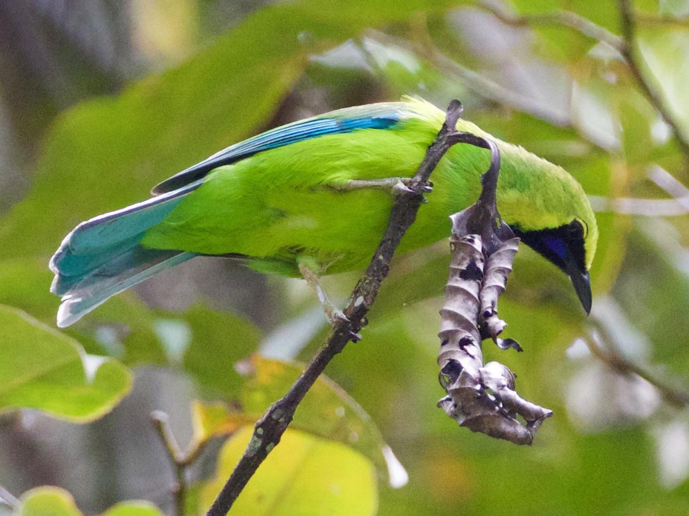 Bornean Leafbird - Scott Baker