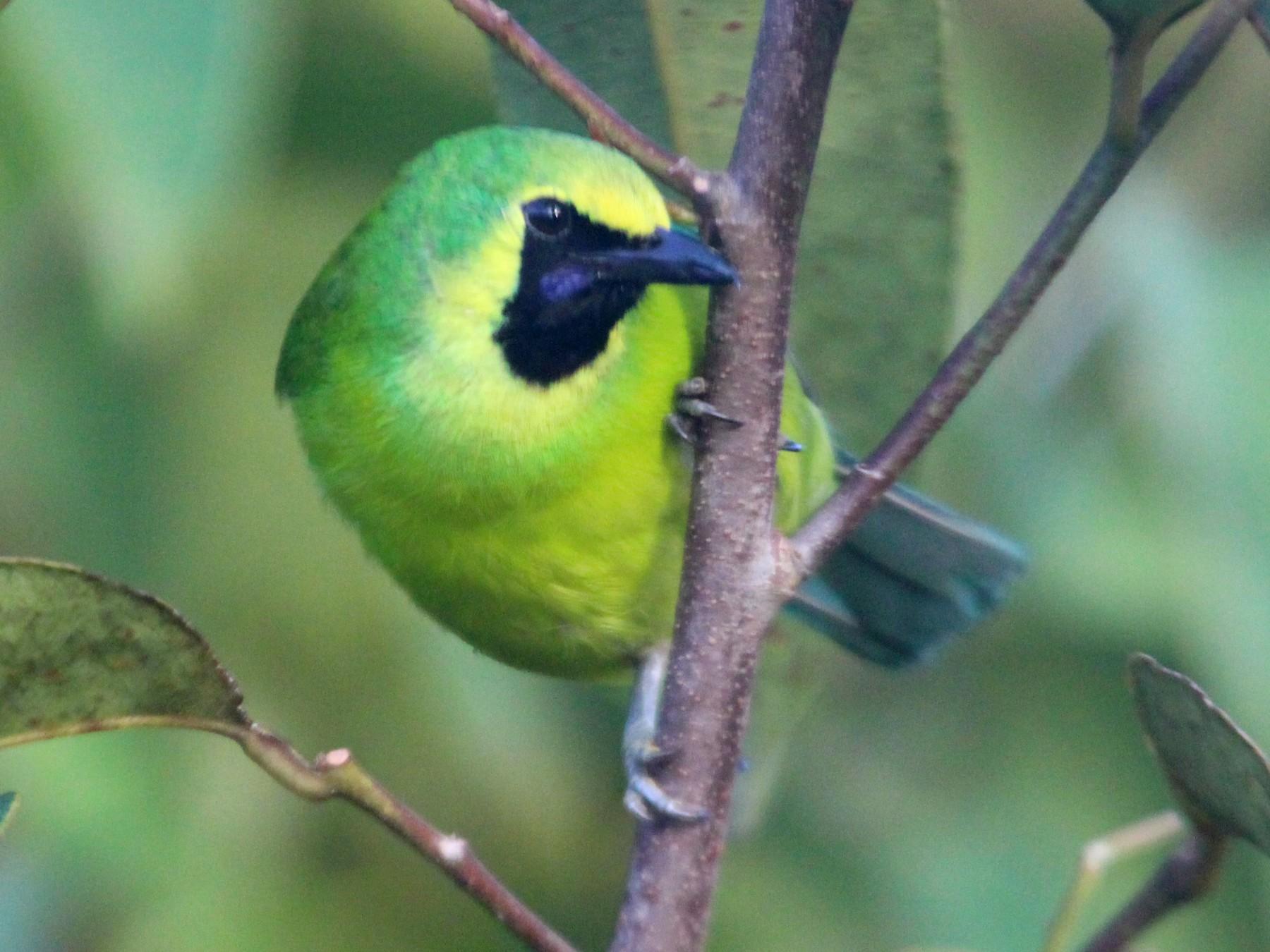 Bornean Leafbird - Wayne Hsu