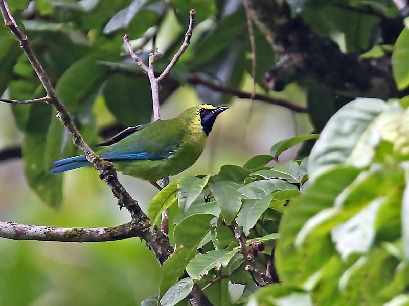 Bornean Leafbird - Stijn De Win