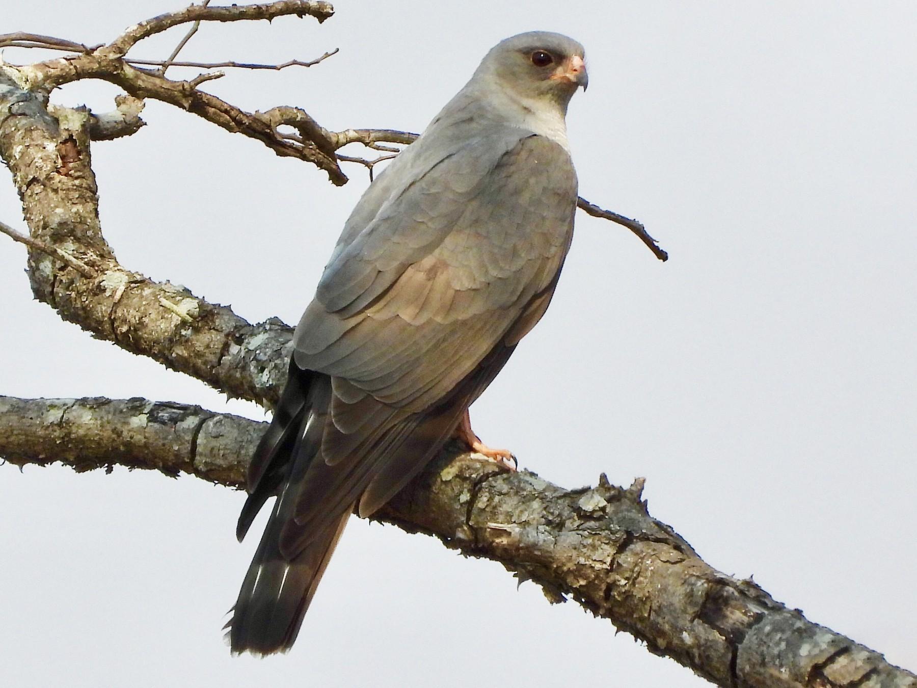 Ovambo Sparrowhawk - Gary Douglas