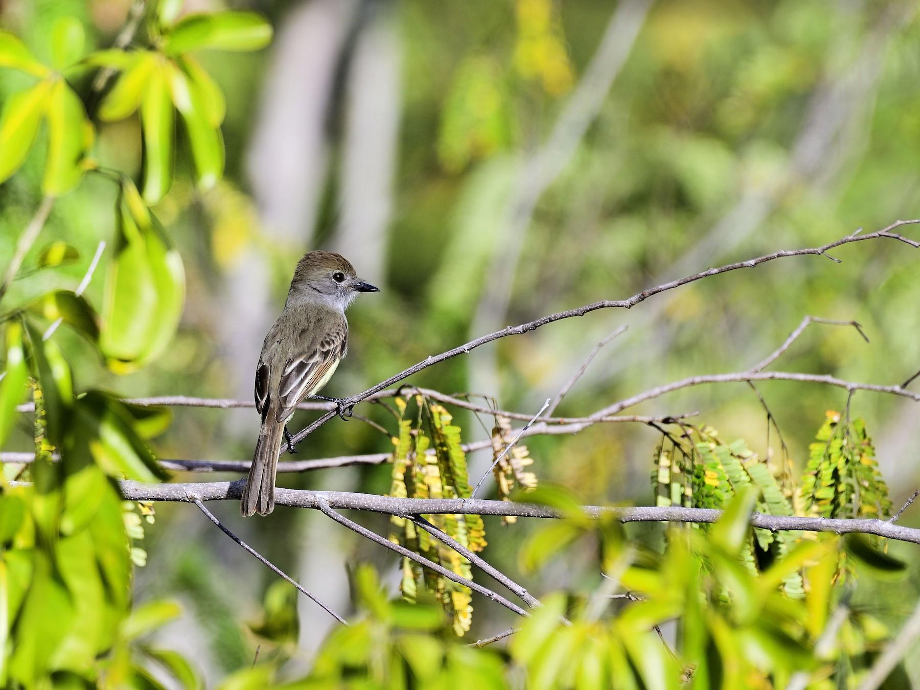 Yucatan Flycatcher - Luis Guillermo