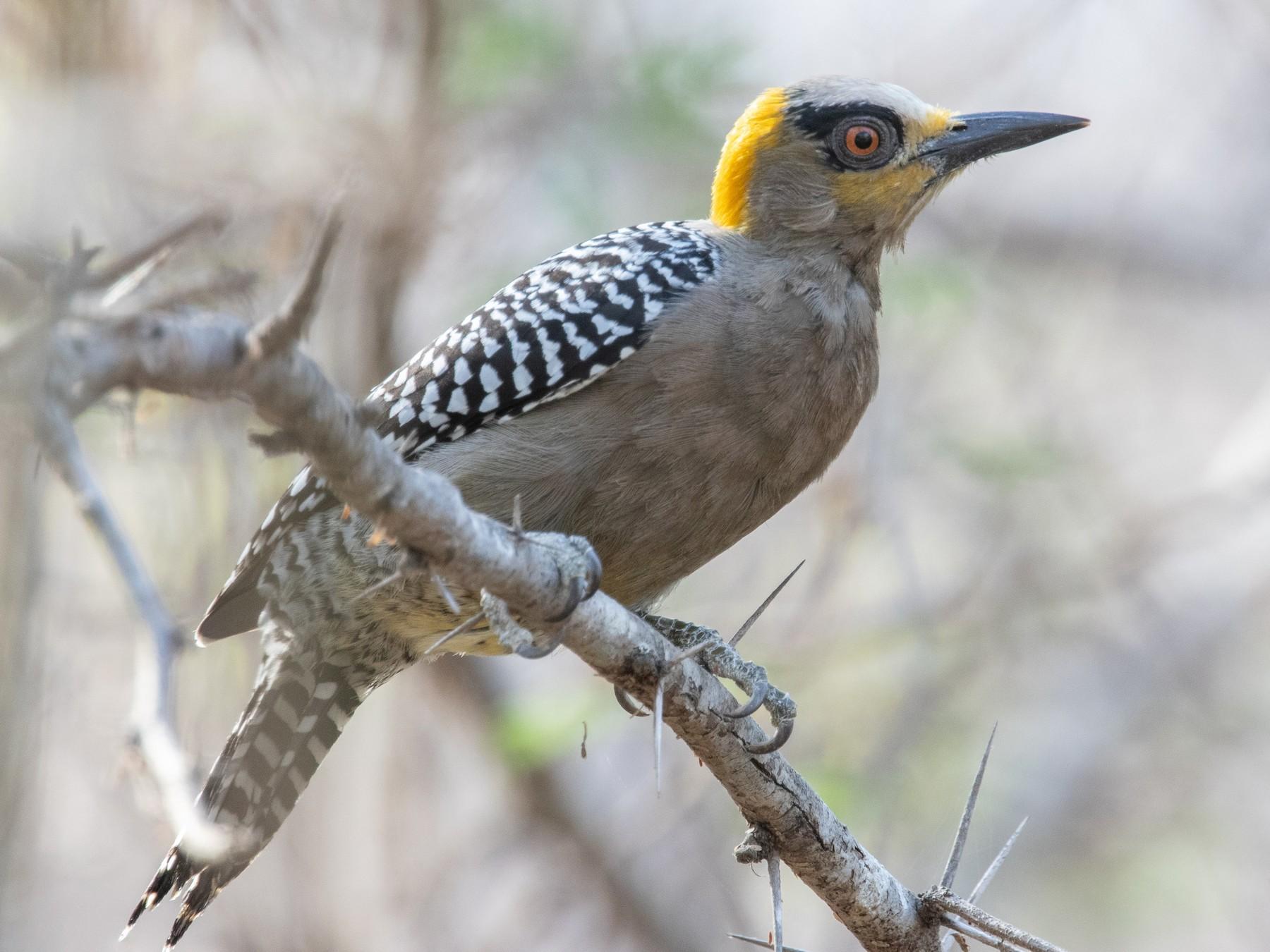 Golden-cheeked Woodpecker - Blair Dudeck
