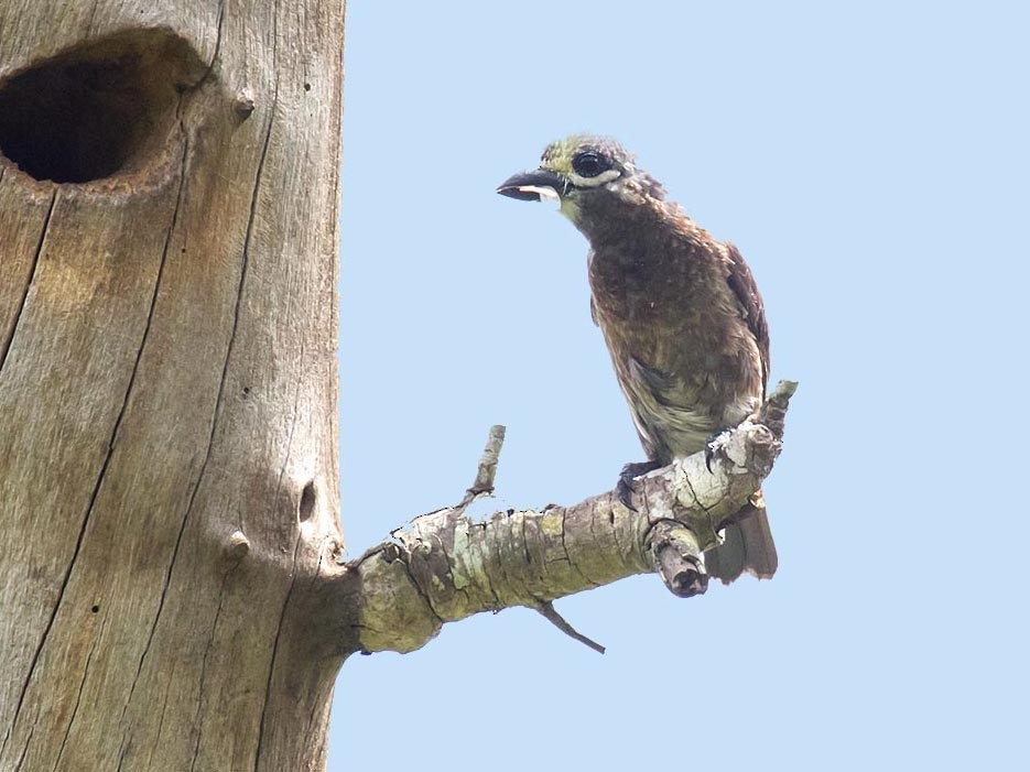 Whyte's Barbet - Bruce Ward-Smith