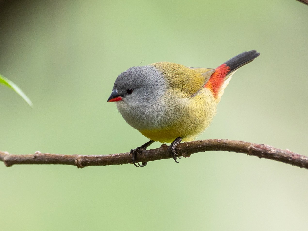 Yellow-bellied Waxbill - Forest Jarvis
