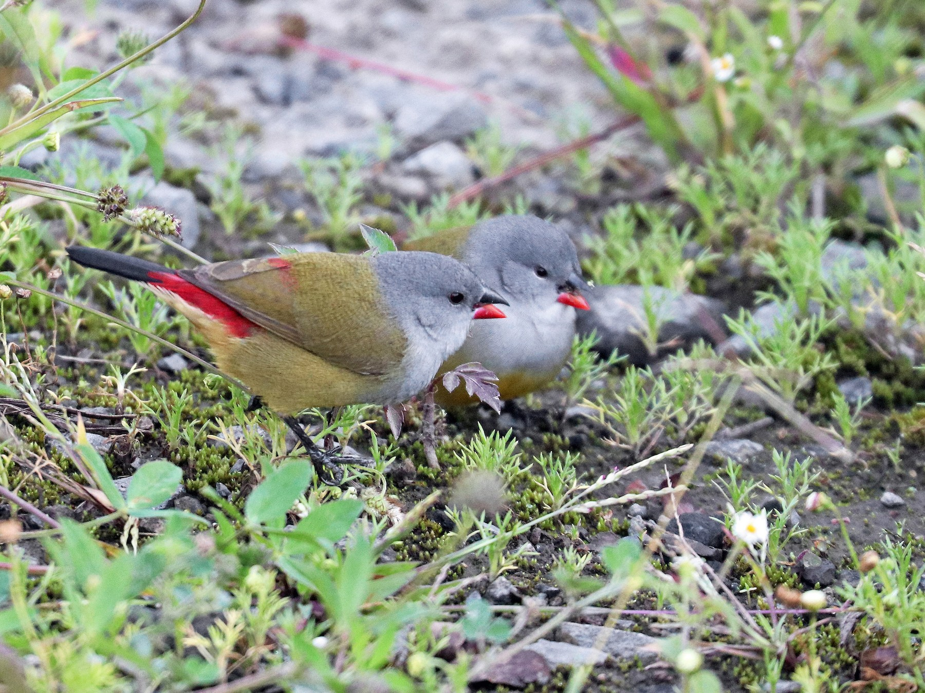 Yellow-bellied Waxbill - Greg  Griffith