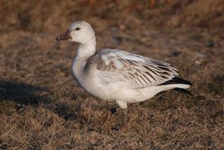 Snow Goose, ML23920781