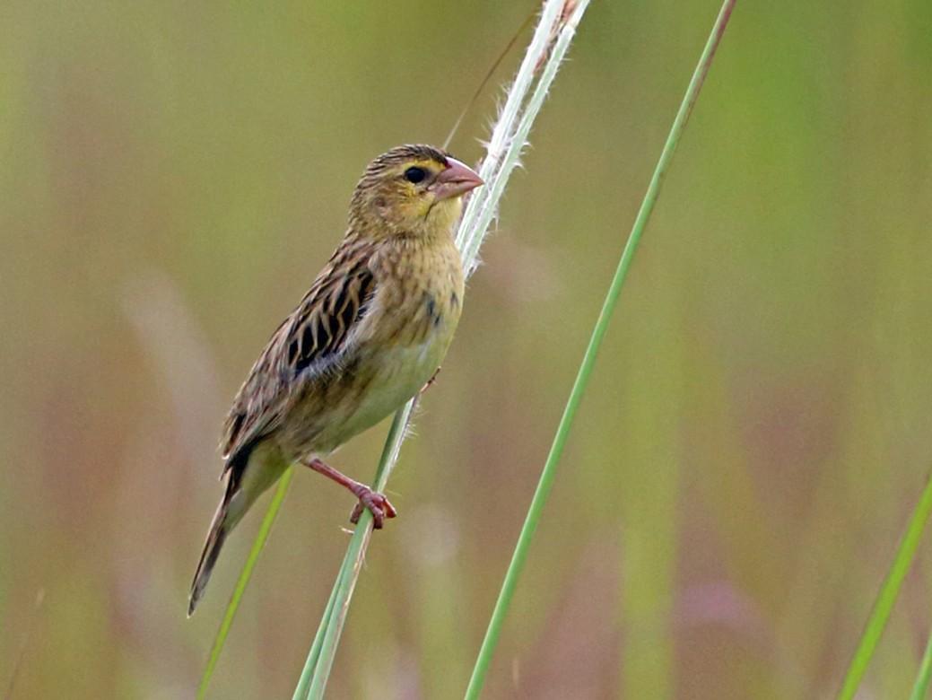 Yellow-mantled Widowbird - Nigel Voaden