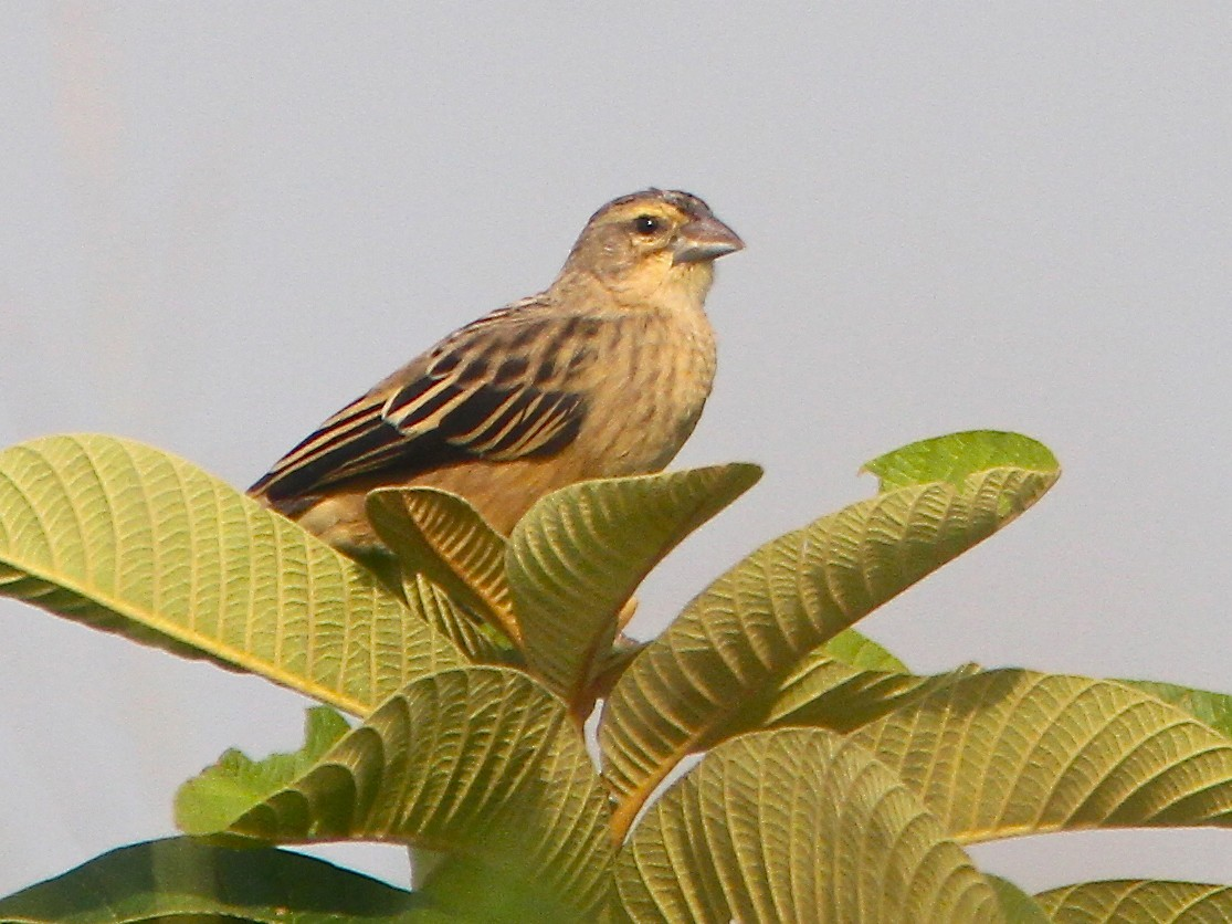 Yellow-mantled Widowbird - Don Roberson
