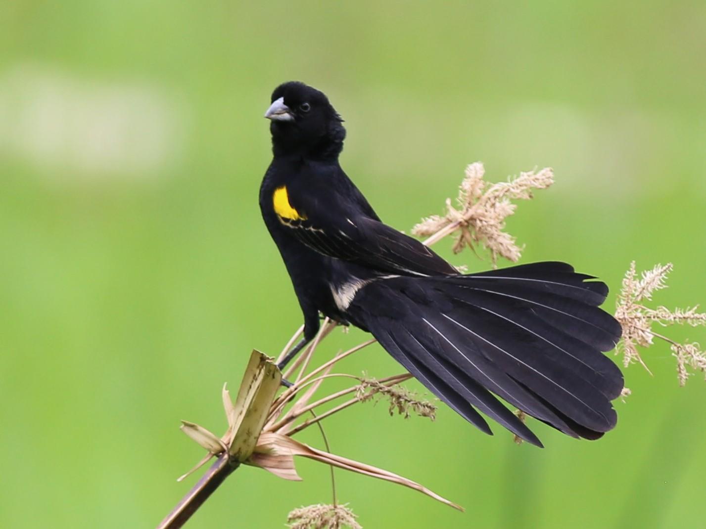 Yellow-mantled Widowbird - Fikret Ataşalan