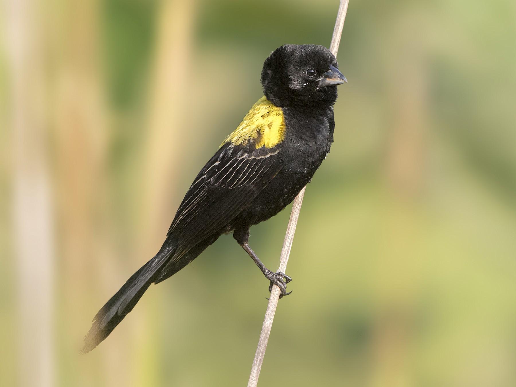 Yellow-mantled Widowbird - Bradley Hacker