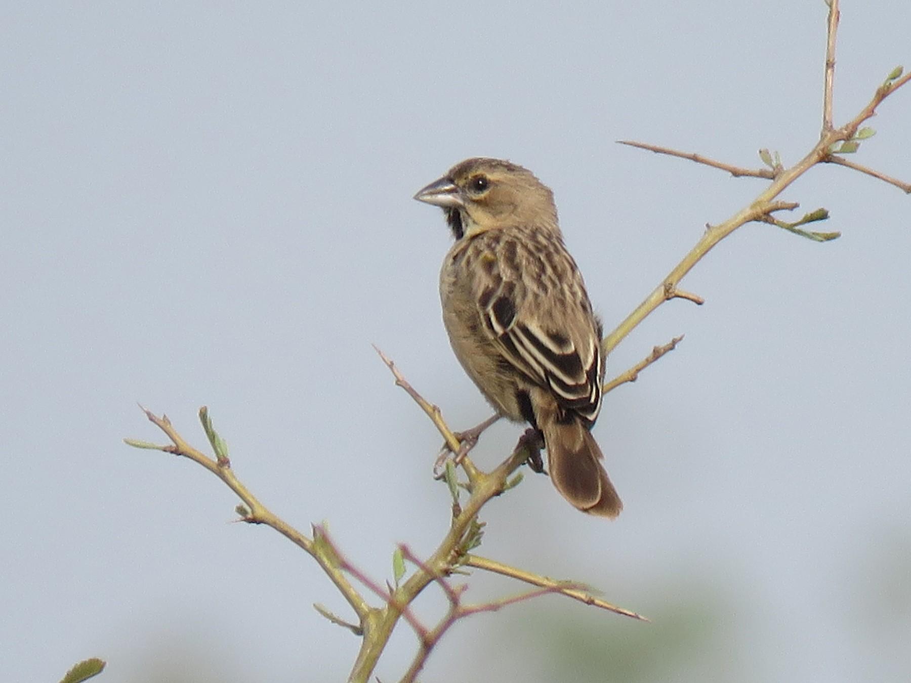 Yellow-mantled Widowbird - Jose Estrada