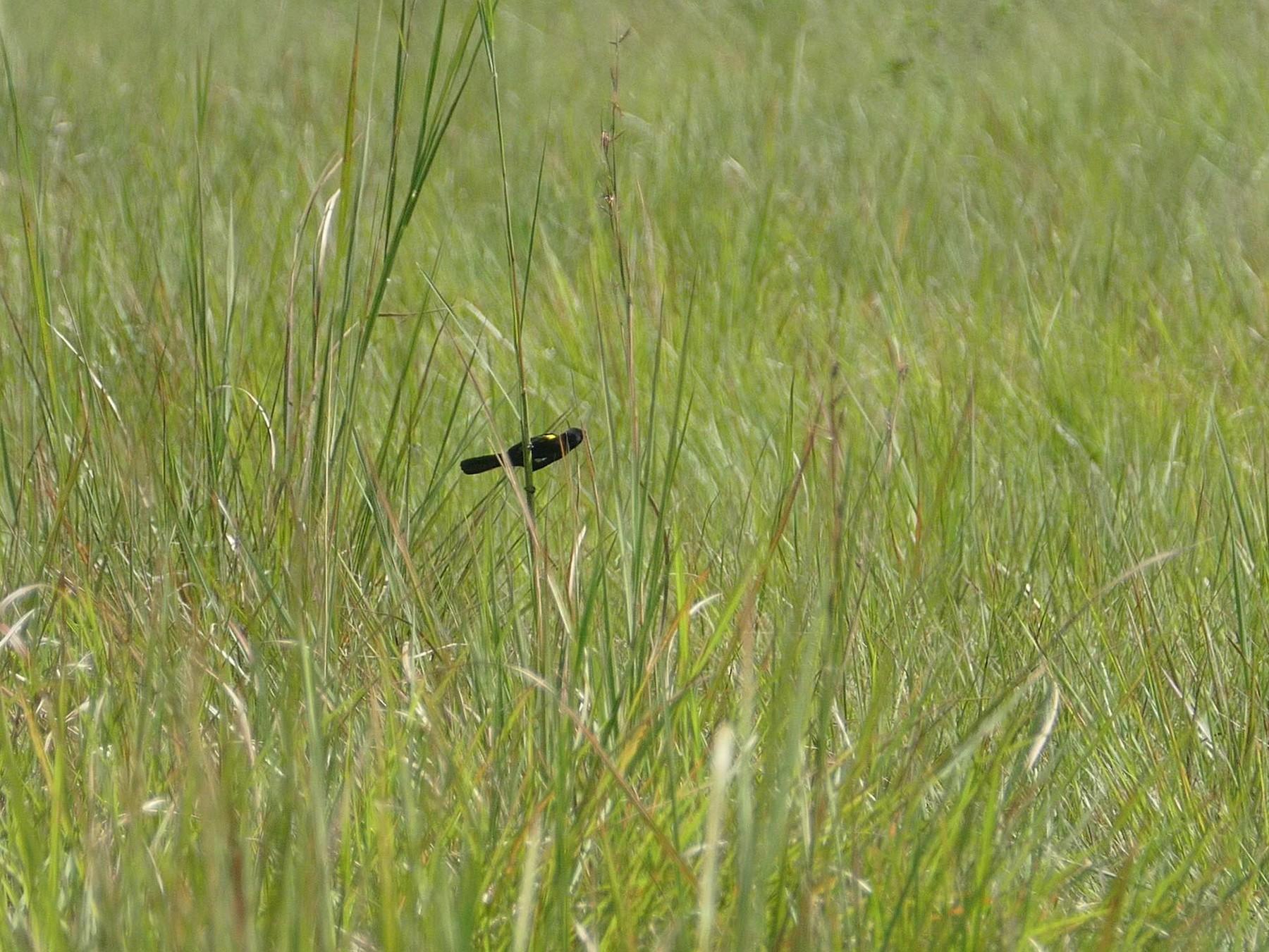 Yellow-mantled Widowbird - Randall Siebert