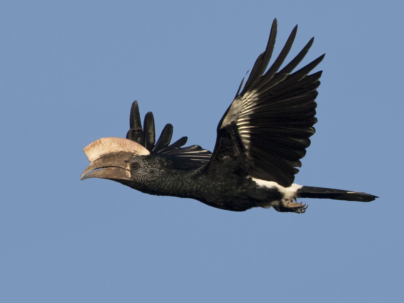Silvery-cheeked Hornbill - Zak Pohlen