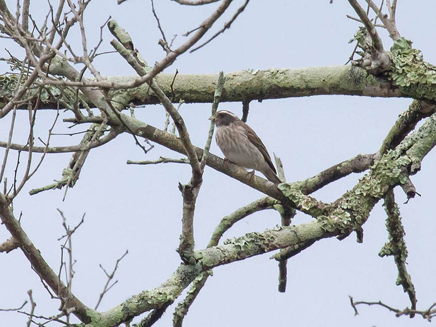 Black-eared Seedeater - Bruce Ward-Smith
