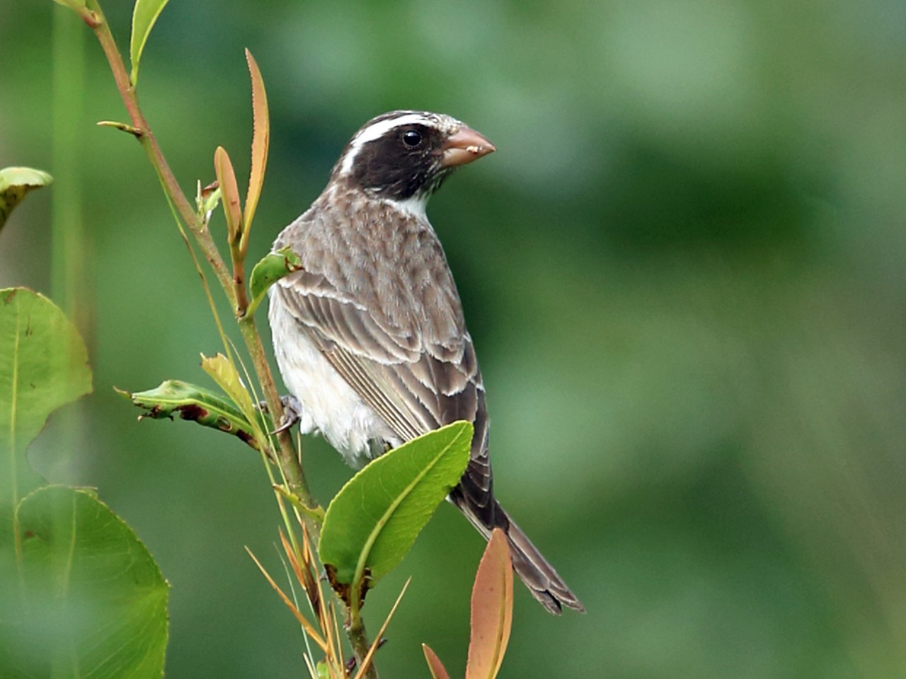 Black-eared Seedeater - Nigel Voaden