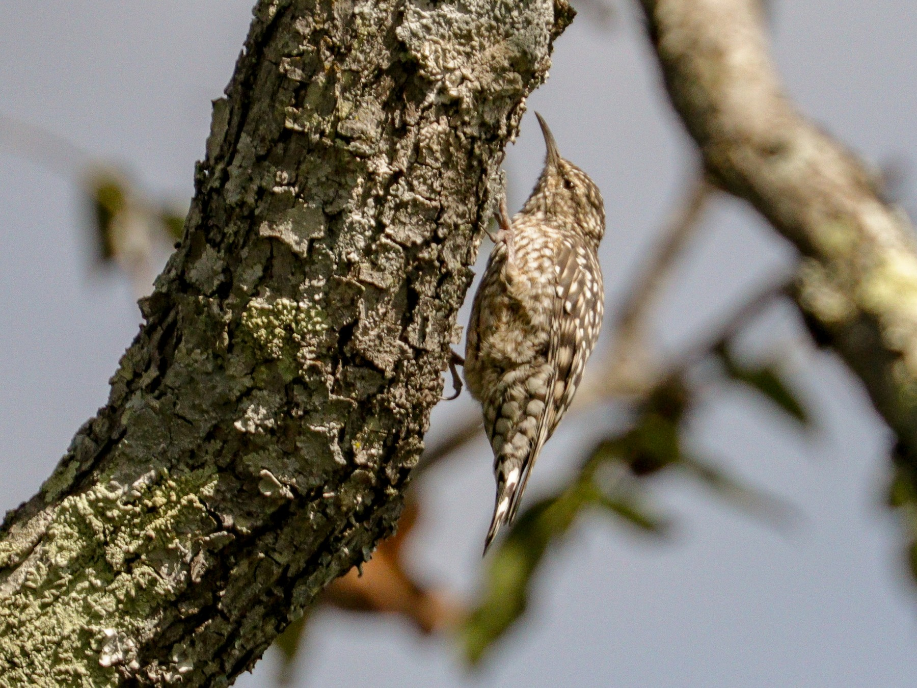 African Spotted Creeper - Tommy Pedersen