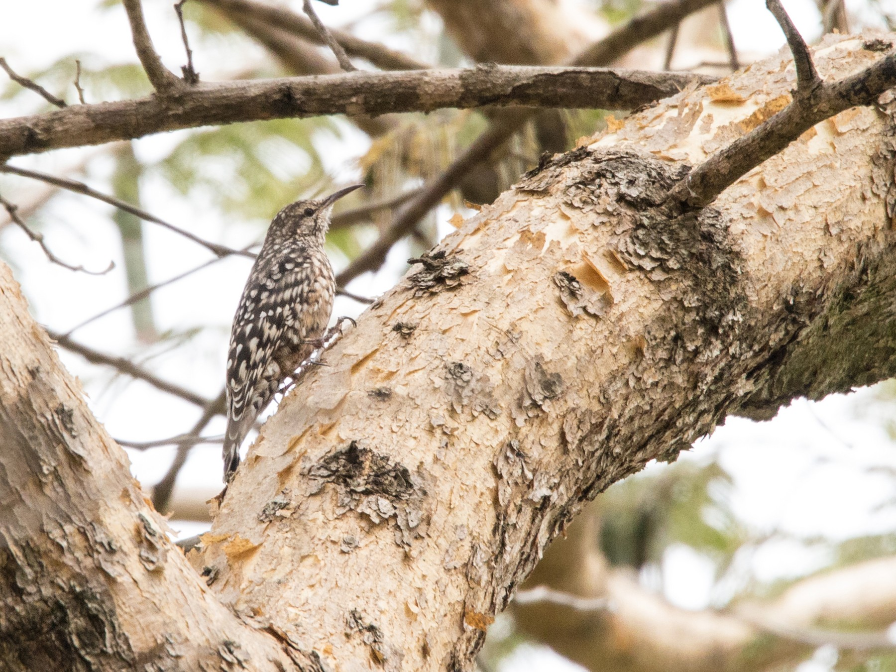 African Spotted Creeper - Peter  Steward