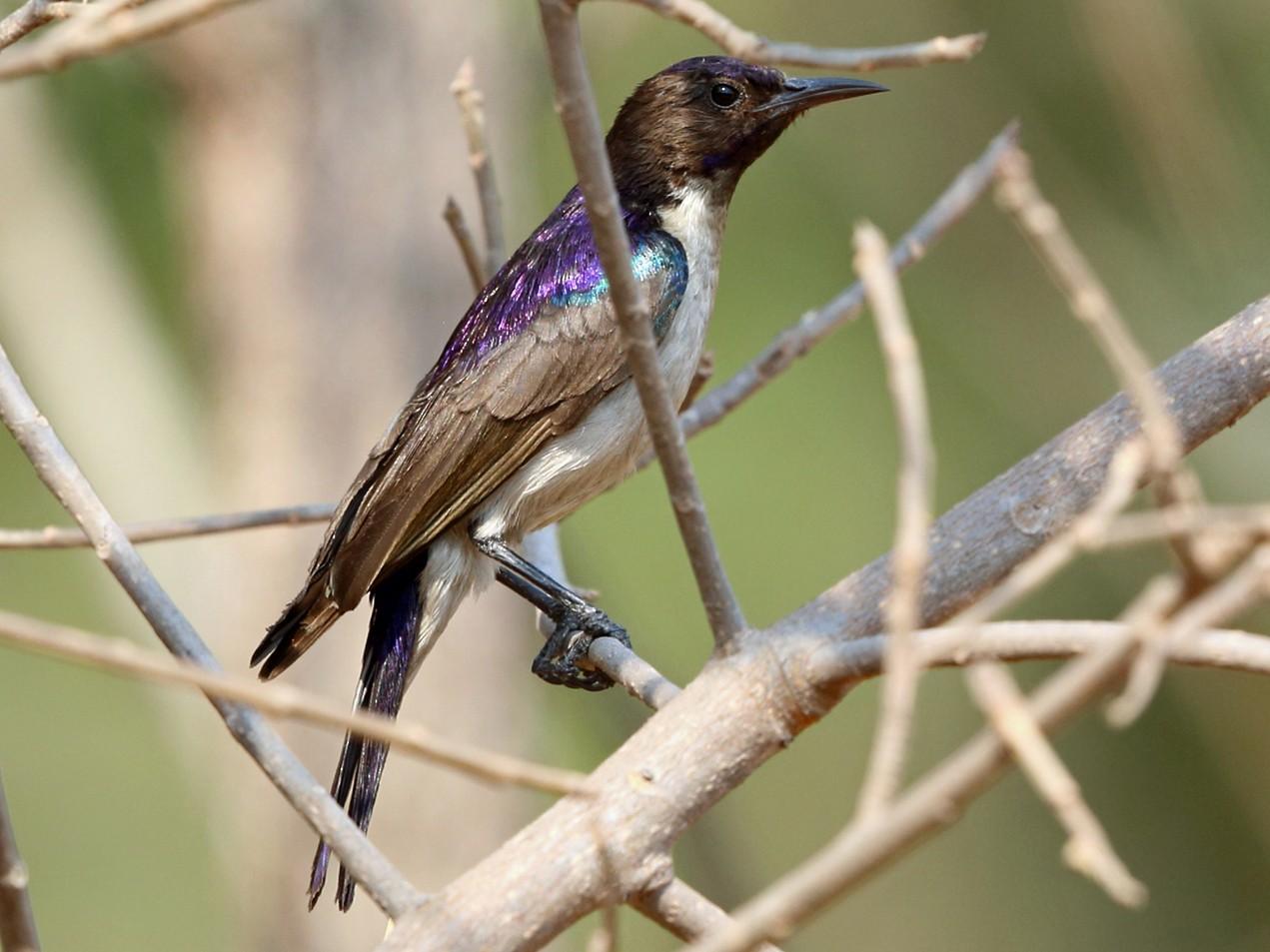 Western Violet-backed Sunbird - Nigel Voaden