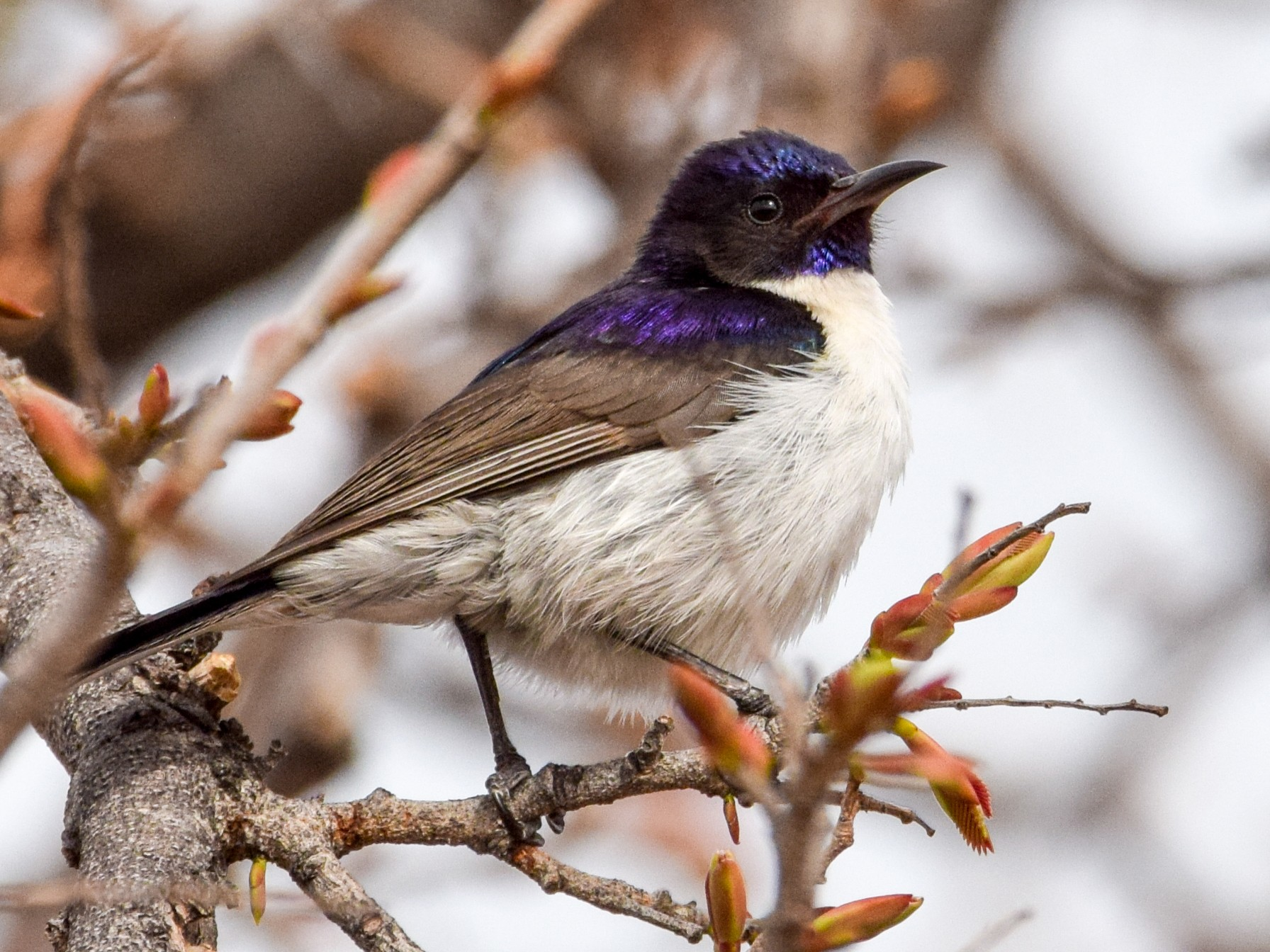 Western Violet-backed Sunbird - Alison Bentley