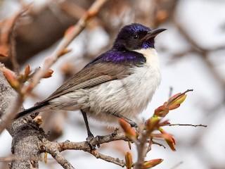 - Western Violet-backed Sunbird
