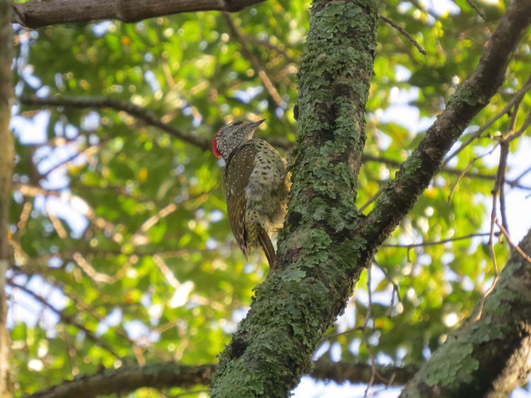 Green-backed Woodpecker - James Bradley