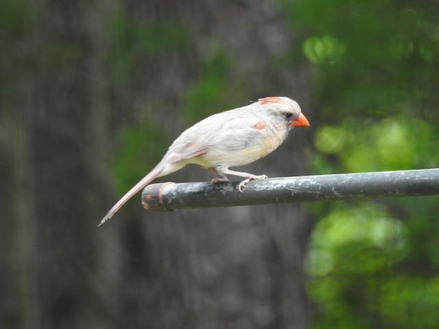 Female Northern Cardinal with dilute plumage.