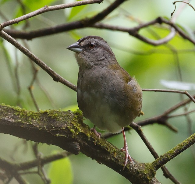 Green-backed Sparrow