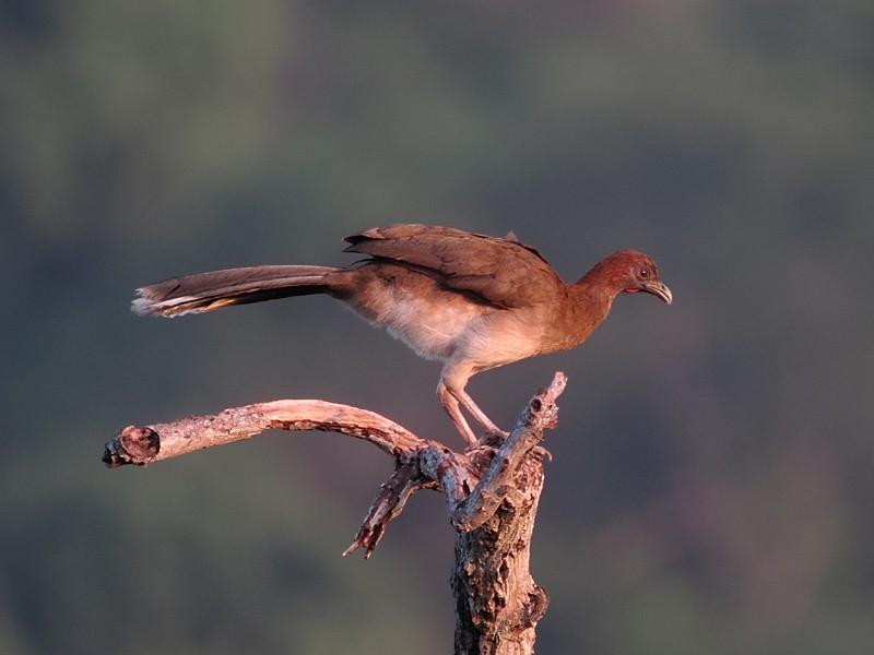 Chestnut-winged Chachalaca - Martin  Flack