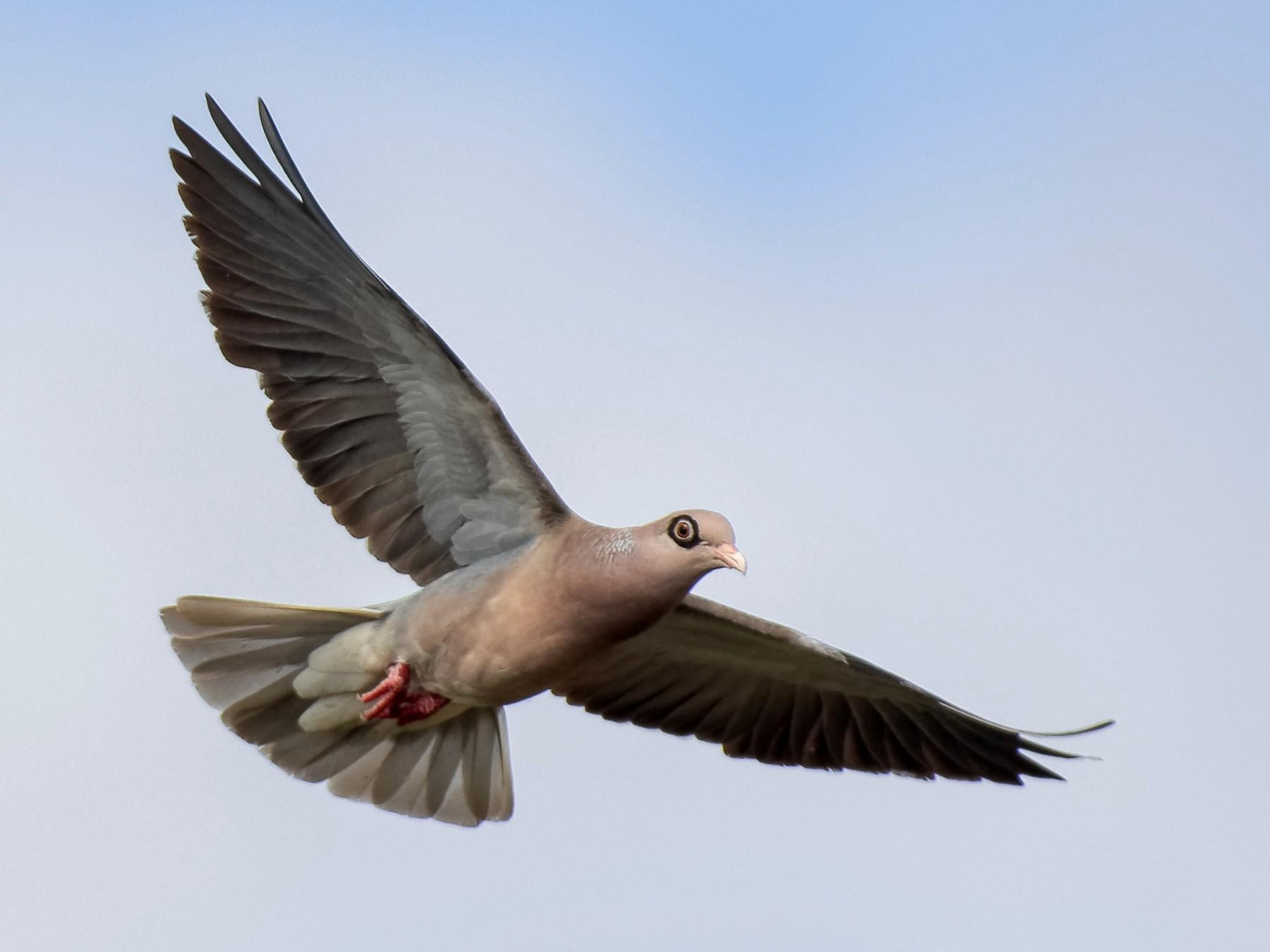 Bare-eyed Pigeon - Don Danko