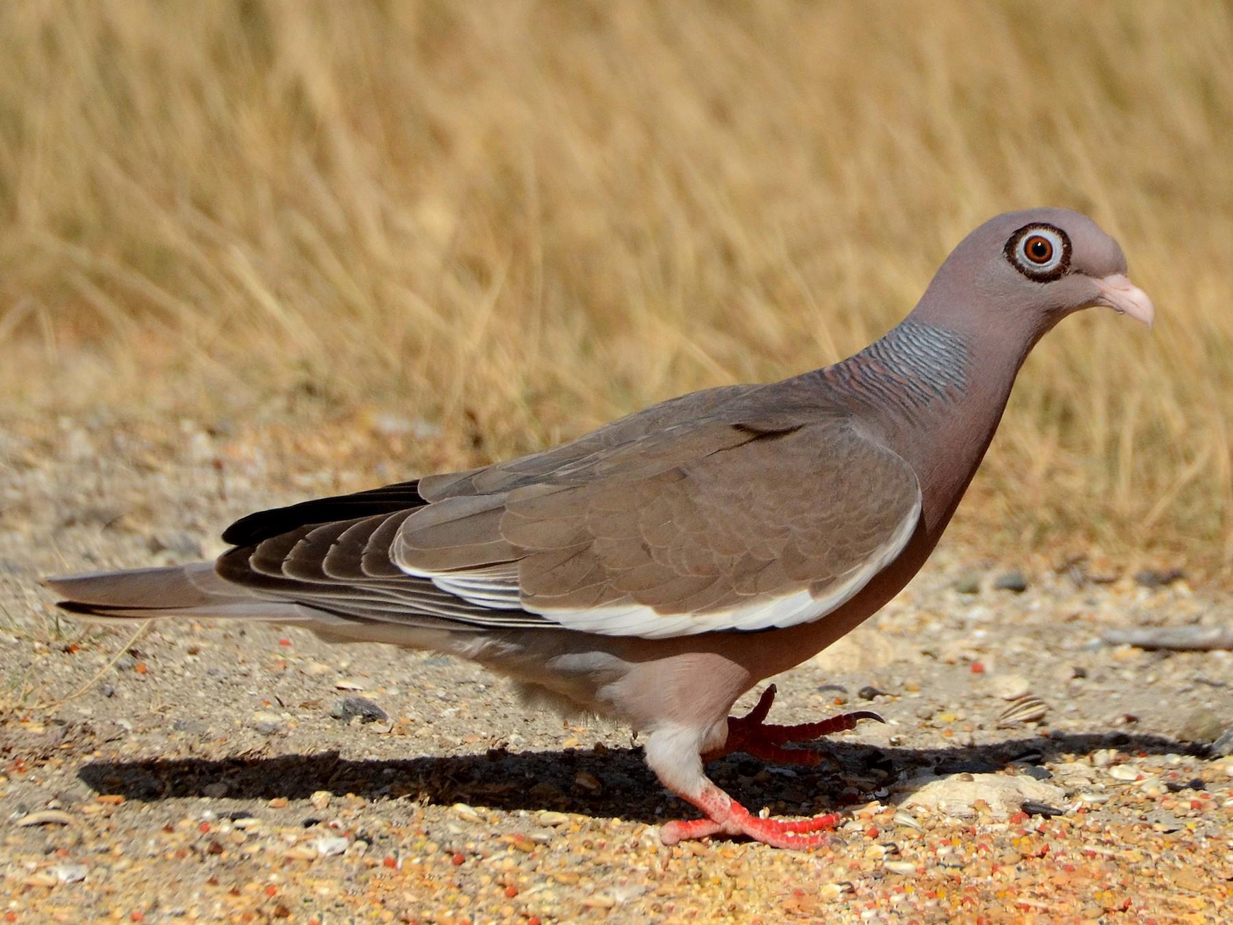 Bare-eyed Pigeon - Steven Mlodinow