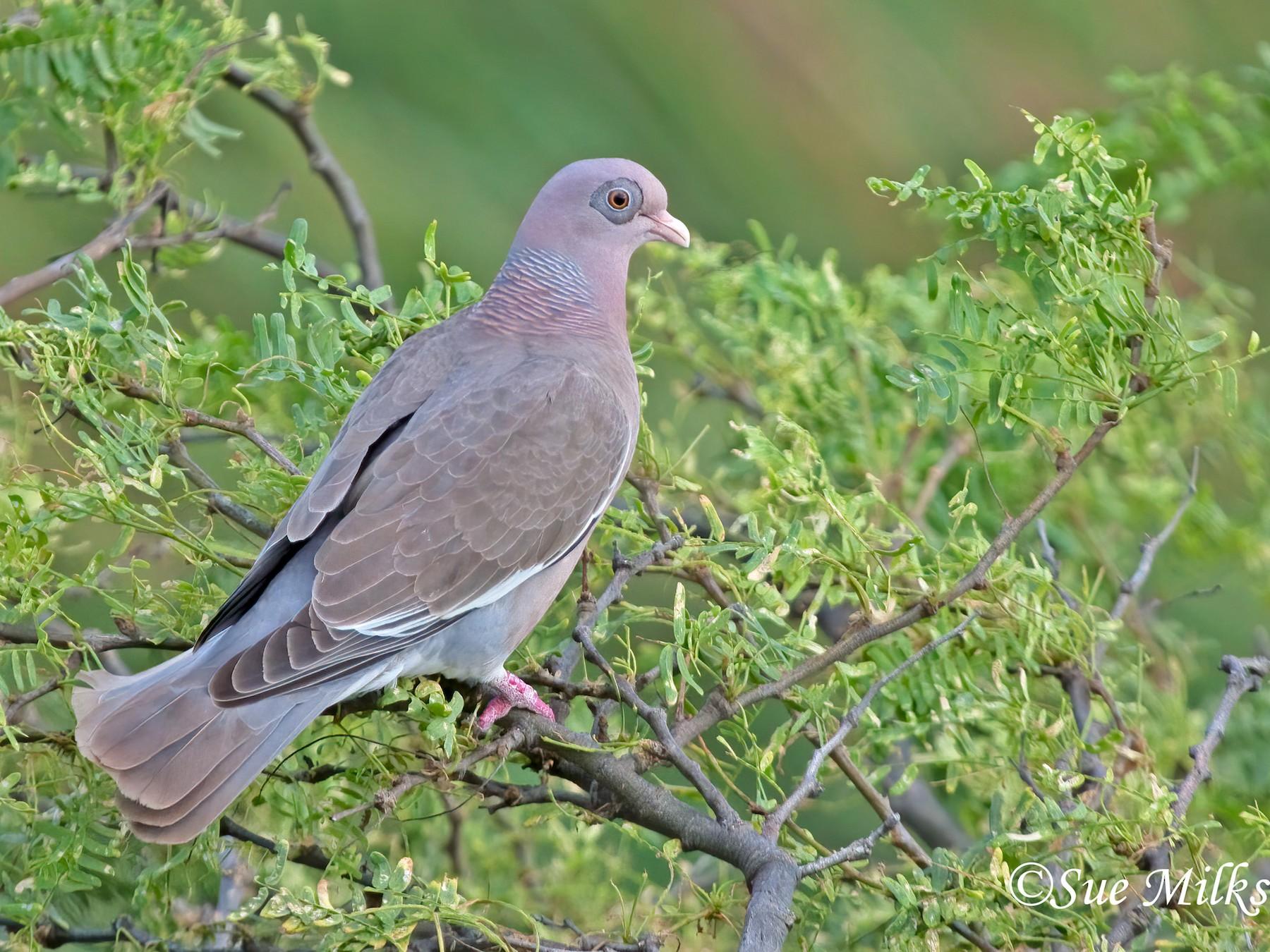 Bare-eyed Pigeon - Sue&Gary Milks