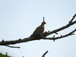 Mourning Dove, ML239525371