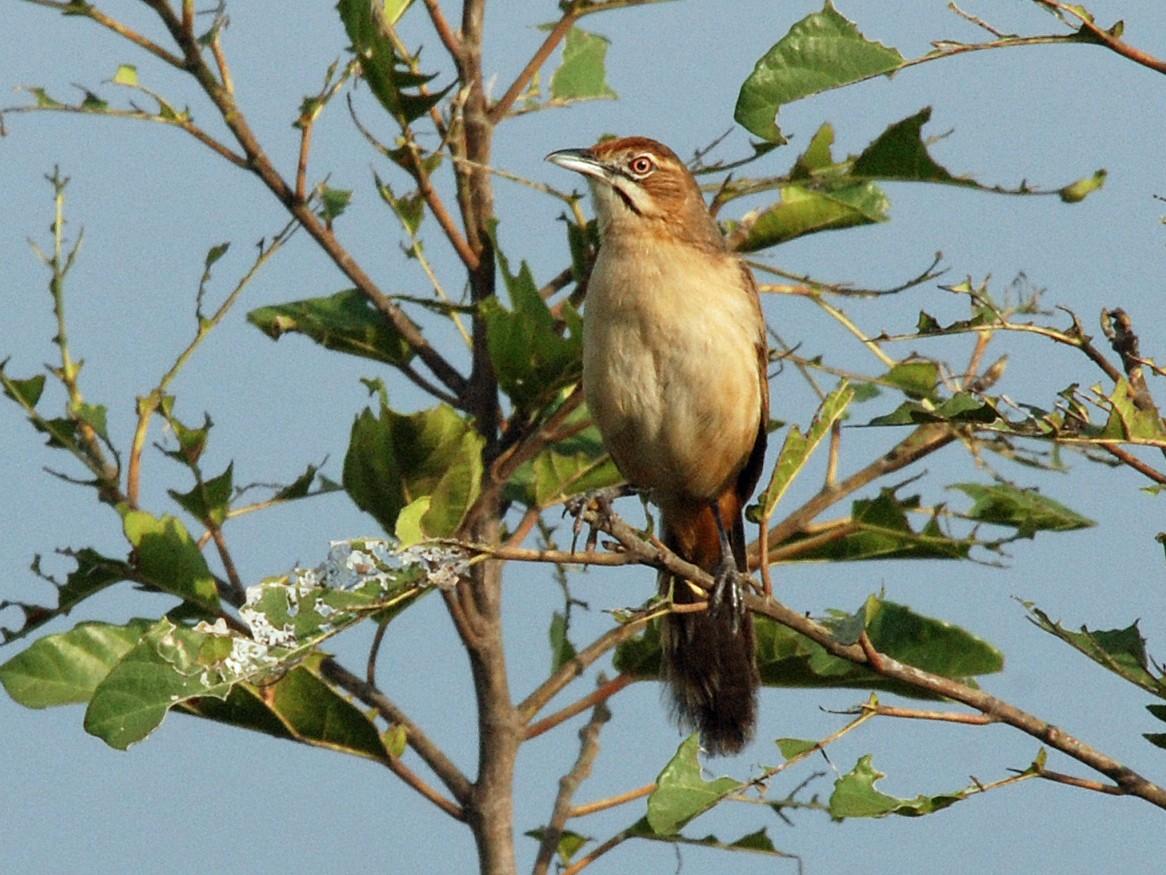 Moustached Grass-Warbler - Nigel Voaden