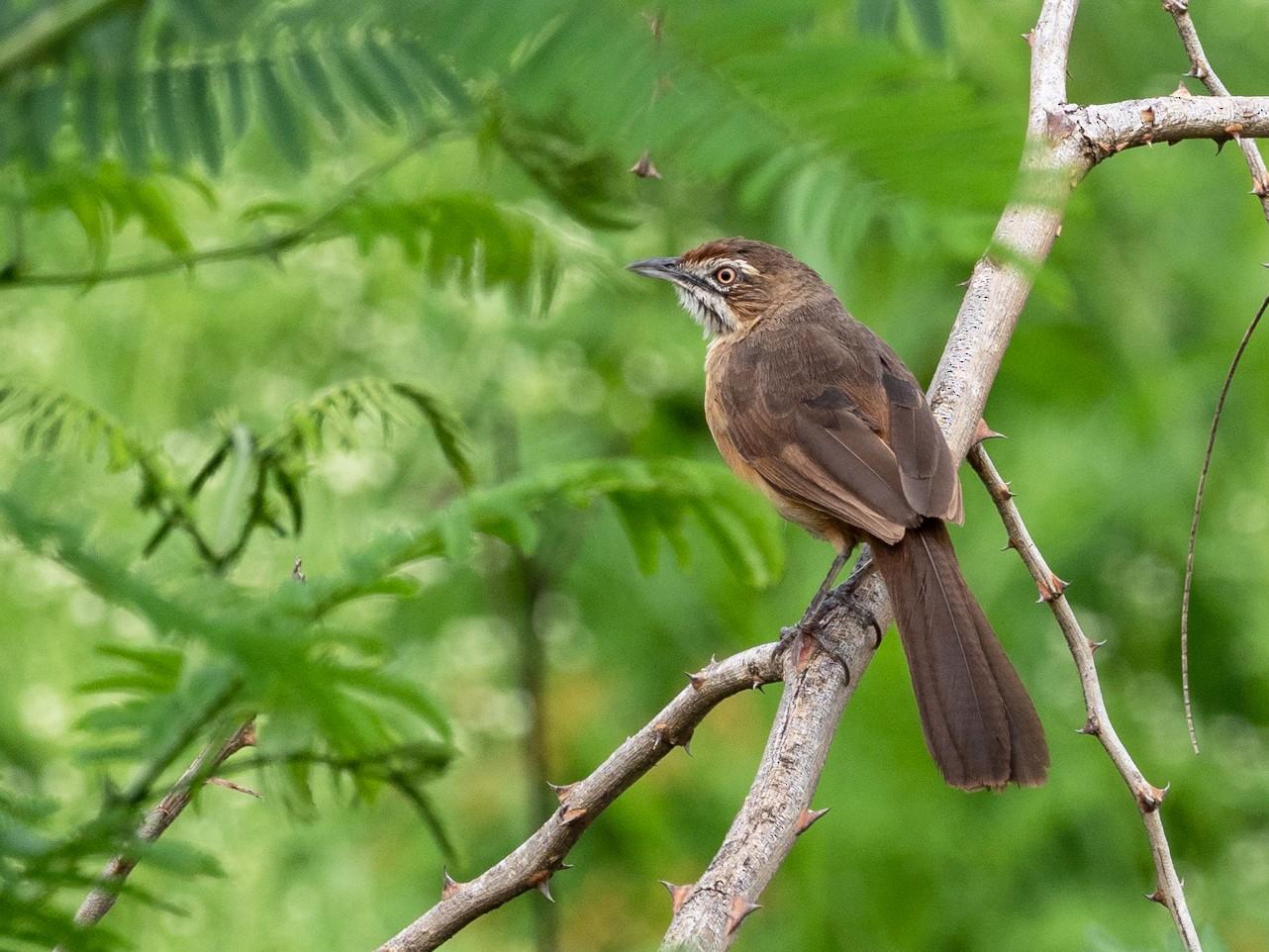 Moustached Grass-Warbler - Forest Jarvis