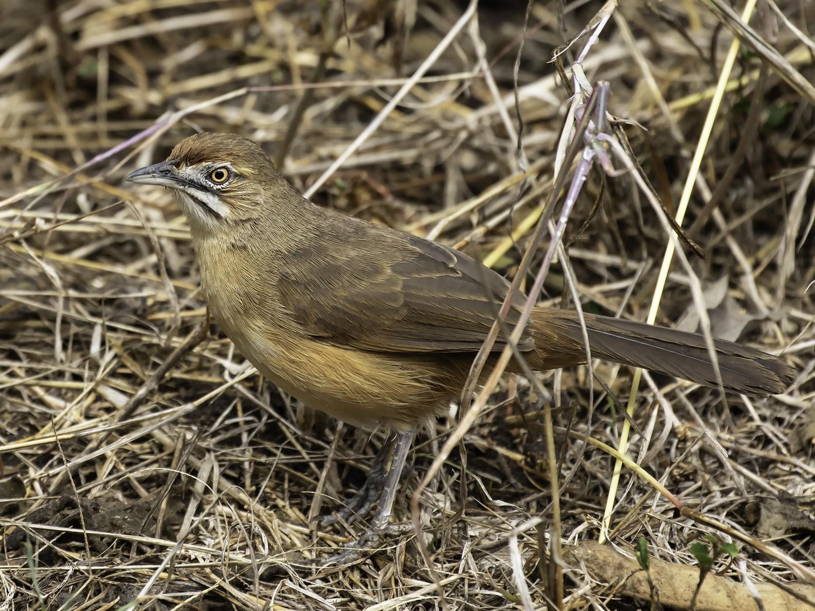 Moustached Grass-Warbler - Thomas Kallmeyer