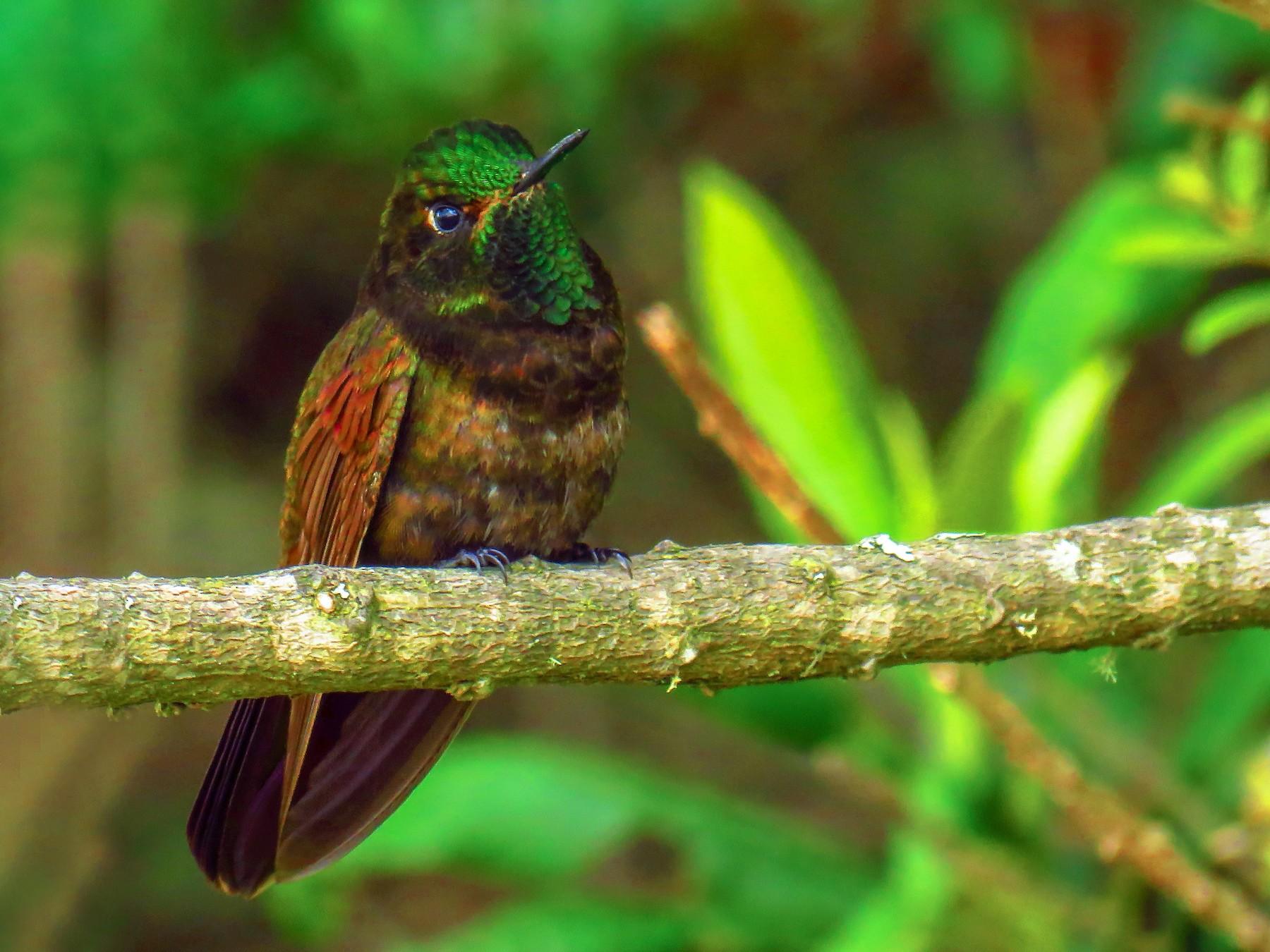 Perija Metaltail - Oswaldo Cortes (Bogota Birding) https://bogotabirding.com/