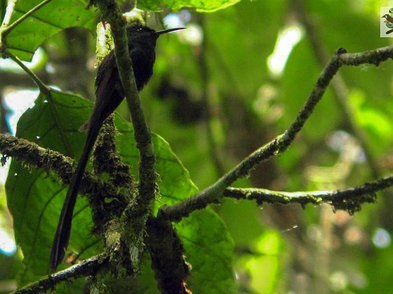Scissor-tailed Hummingbird - Diego Calderón-Franco @diegoCOLbirding
