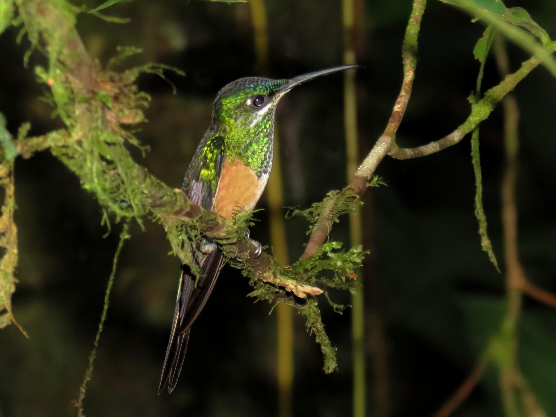 Scissor-tailed Hummingbird - Thore  Noernberg