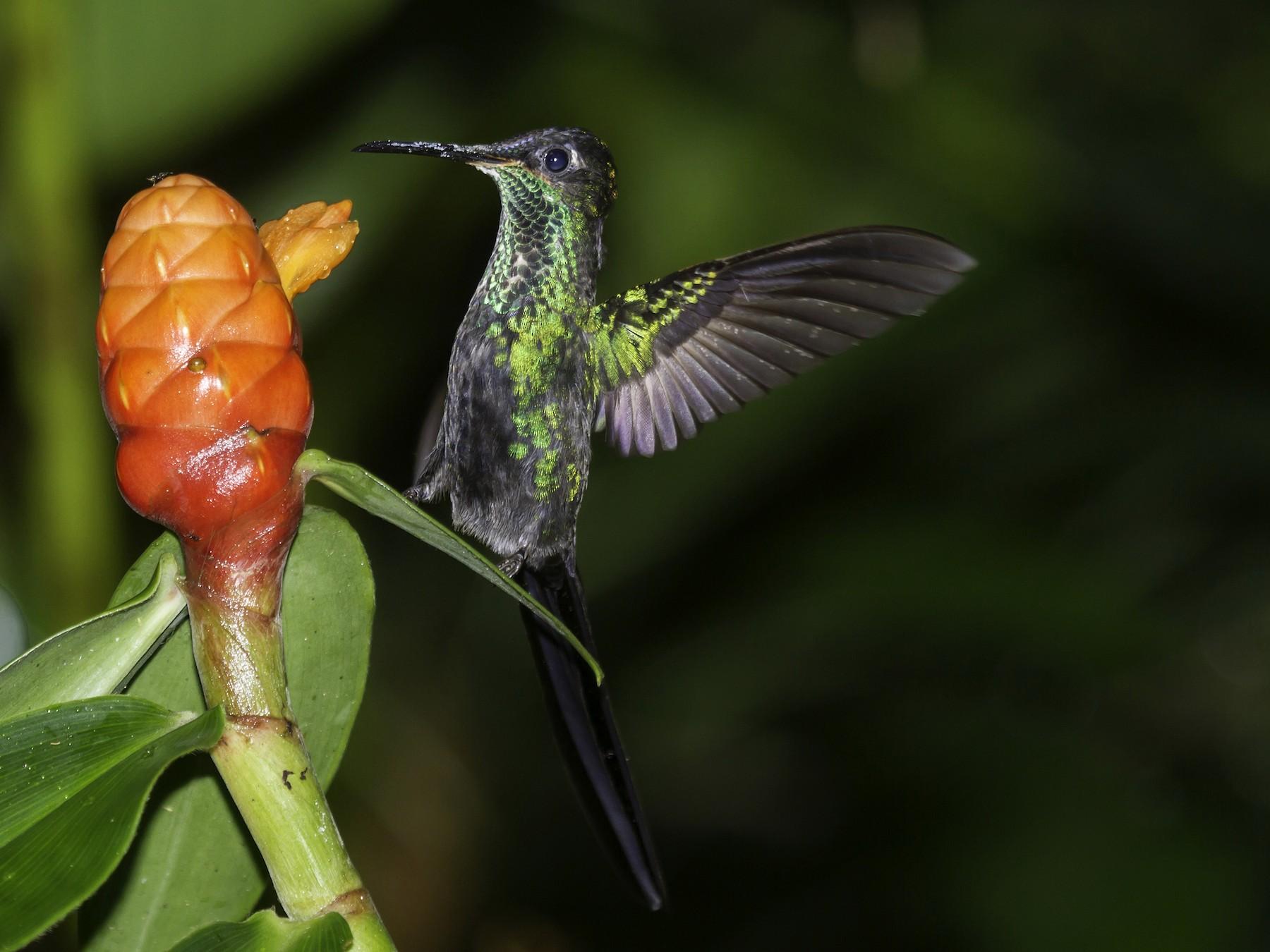 Scissor-tailed Hummingbird - javier  mesa