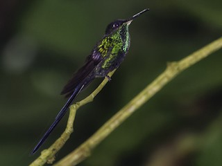 - Scissor-tailed Hummingbird
