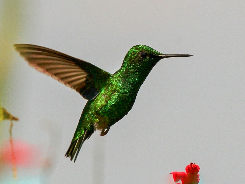 Green-tailed Emerald - Margareta Wieser