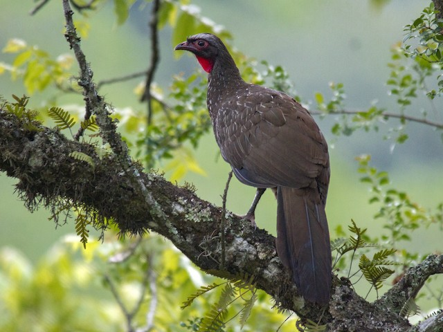 Red-faced Guan