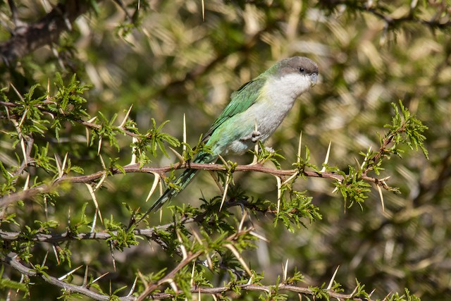 Gray-hooded Parakeet