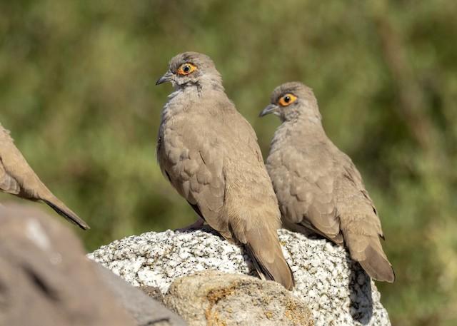 Bare-eyed Ground Dove