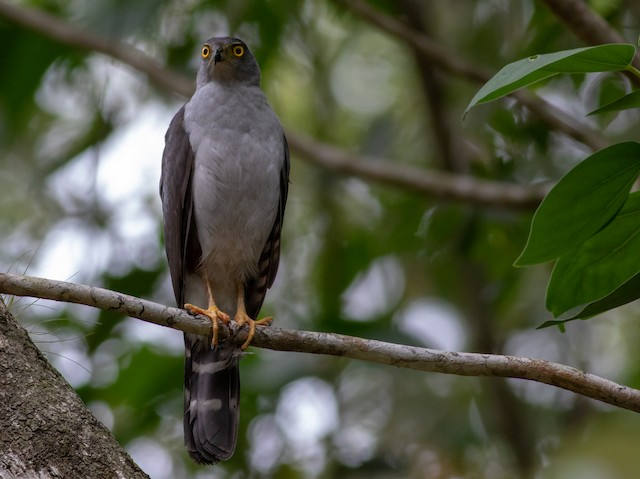 Bicolored Hawk