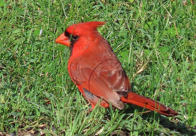 Definitive Basic male Northern Cardinal in late May.