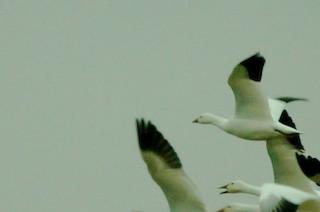 Ross's Goose, ML24007861