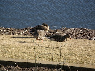 Greater White-fronted Goose, ML24017711
