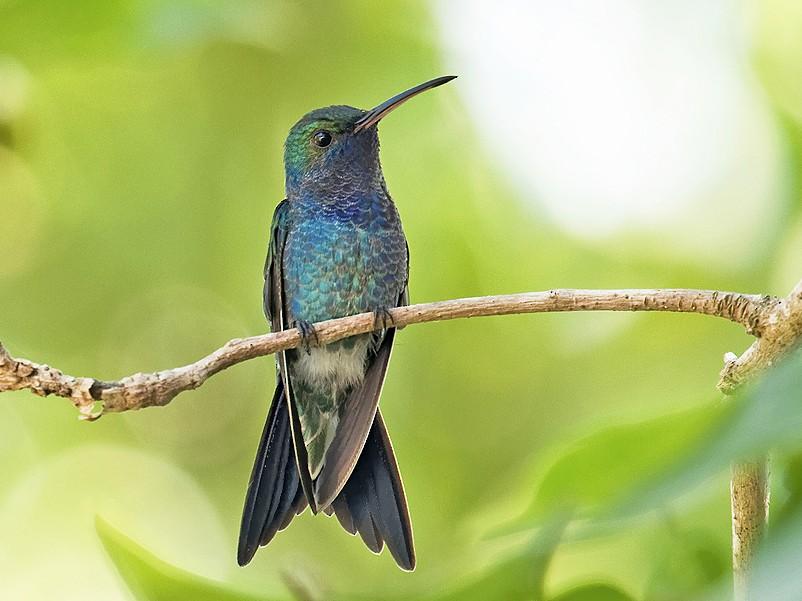 Sapphire-bellied Hummingbird - Dusan Brinkhuizen
