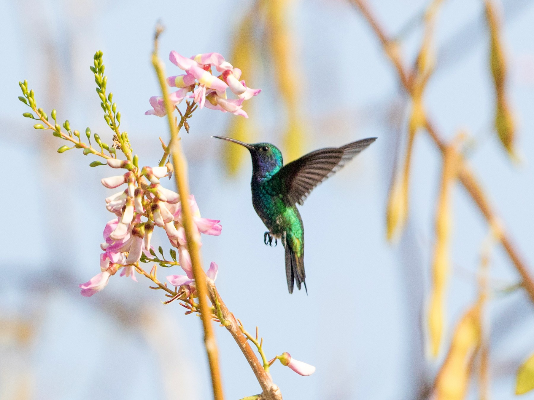 Sapphire-bellied Hummingbird - Cory Gregory
